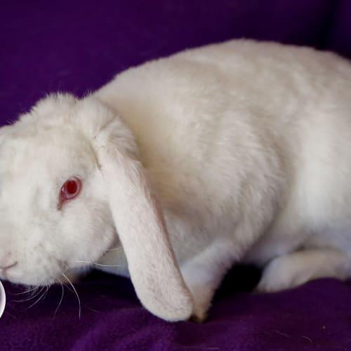 Lewis - Dwarf lop Rabbit