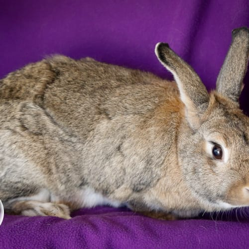 Chip - Domestic Rabbit