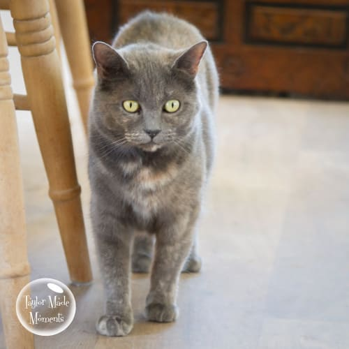 Misty - British Shorthair x Domestic Short Hair Cat