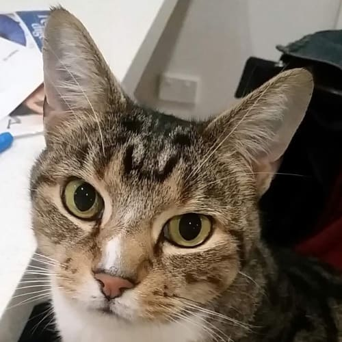 Mitch - Located in Hoppers Crossing - Domestic Short Hair Cat