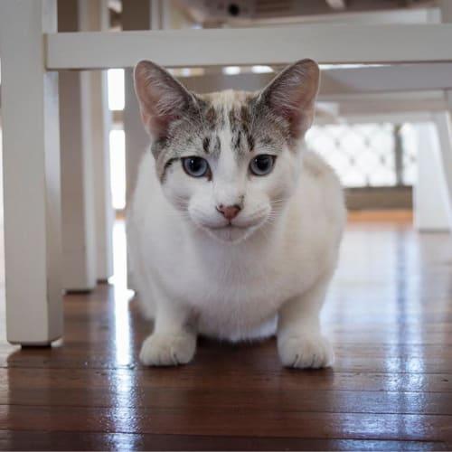 Aaron - Domestic Short Hair Cat