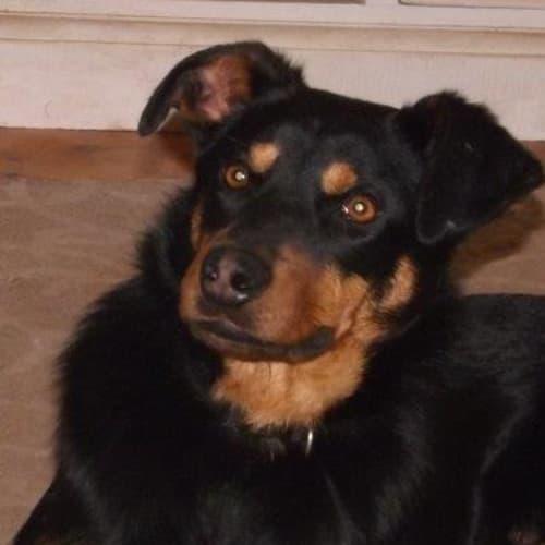 Timmy - Kelpie Dog