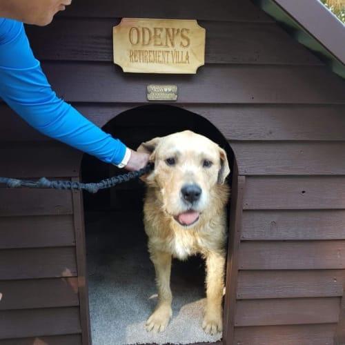 Oden - Irish Wolfhound Dog