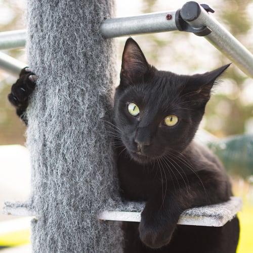 Max (83925) - Oriental Cat