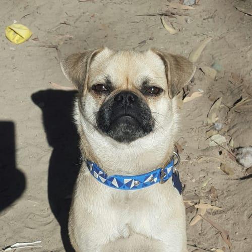 Carter - Chihuahua x Pug Dog