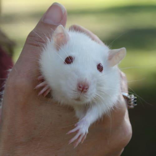 Winston -  Rodent