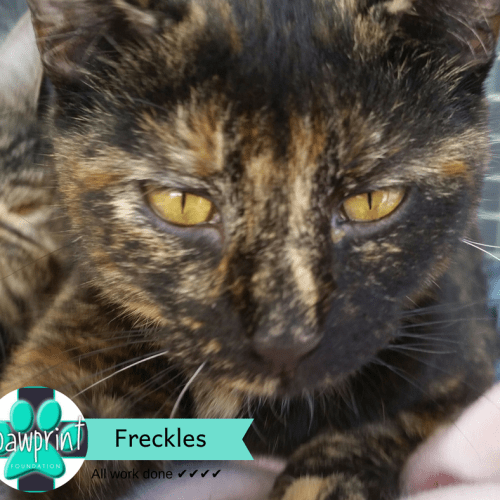 Freckles - Domestic Short Hair Cat