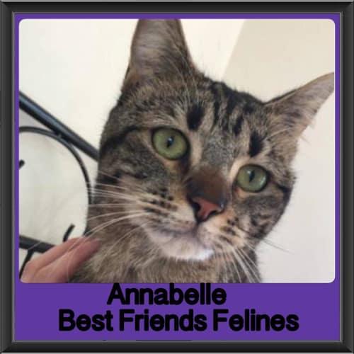Annabelle  - Domestic Short Hair Cat