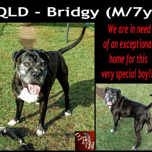 Bridgy - Neapolitan Mastiff x Staffy Dog