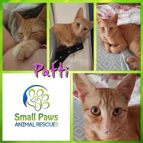 Patti - Domestic Short Hair Cat