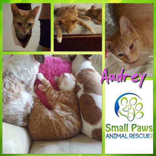 Audrey - Domestic Short Hair Cat