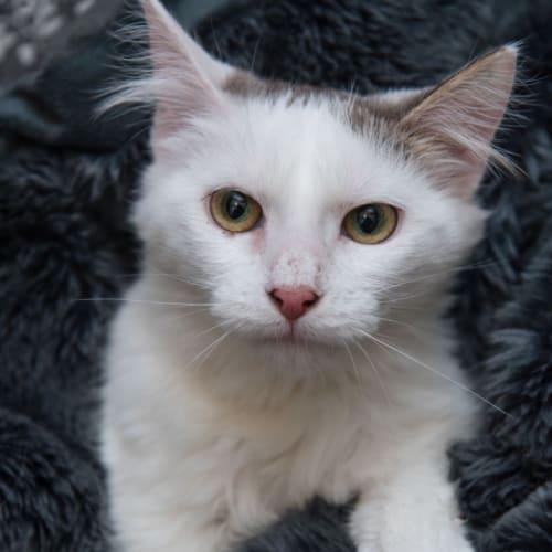 Beaky - Domestic Medium Hair Cat