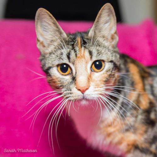 Calysp NC0408 - Domestic Short Hair Cat