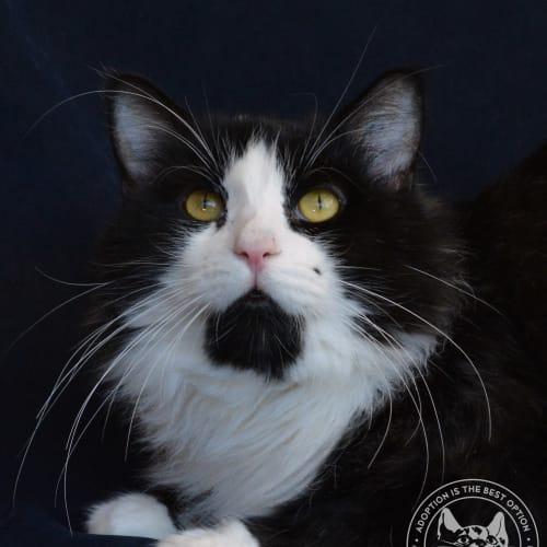Clawdius - Domestic Long Hair Cat