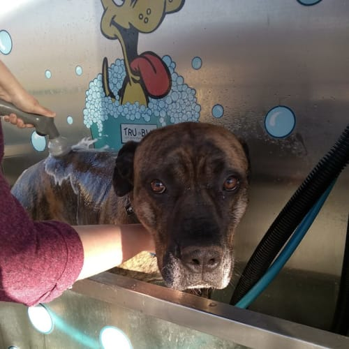 Buddy - Mastiff Dog