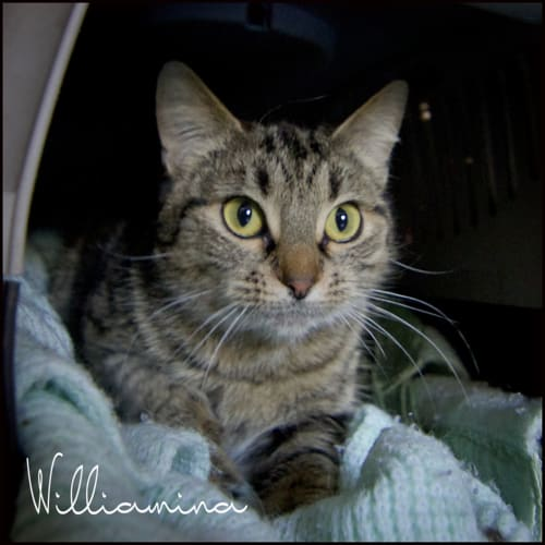 Williamina - Domestic Short Hair Cat
