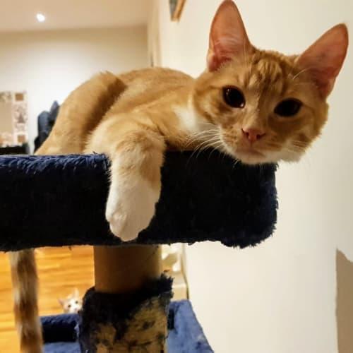 Turbo - Located in Altona North - Domestic Short Hair Cat