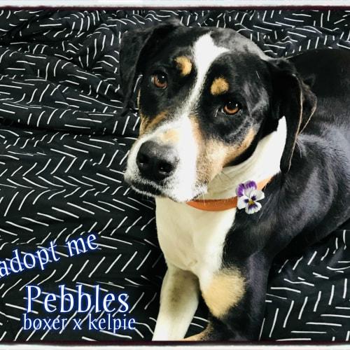 Pebbles ~ 9 Yr Old Boxer X Kelpie  - Boxer x Kelpie Dog