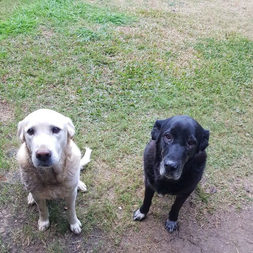 Mishca and Hansie 🐶🐶 - Labrador Dog
