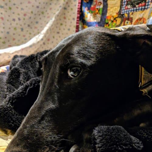 Yvonne - Greyhound Dog