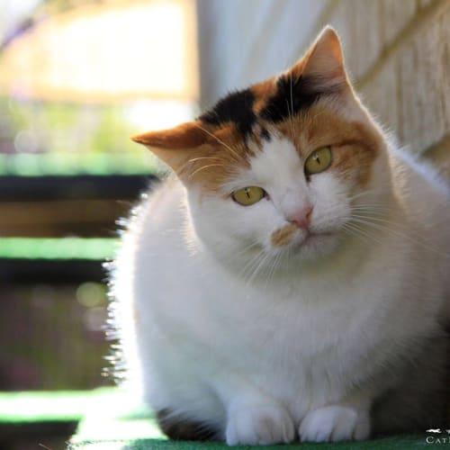 AC0711 - Kimberley - Domestic Short Hair Cat