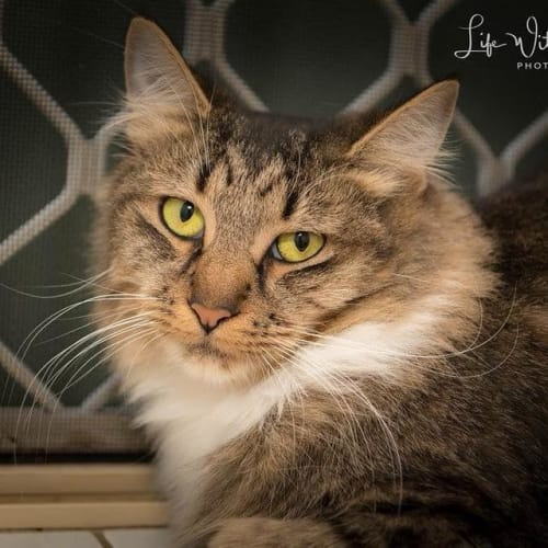 AC0759 - Noni - Domestic Medium Hair Cat