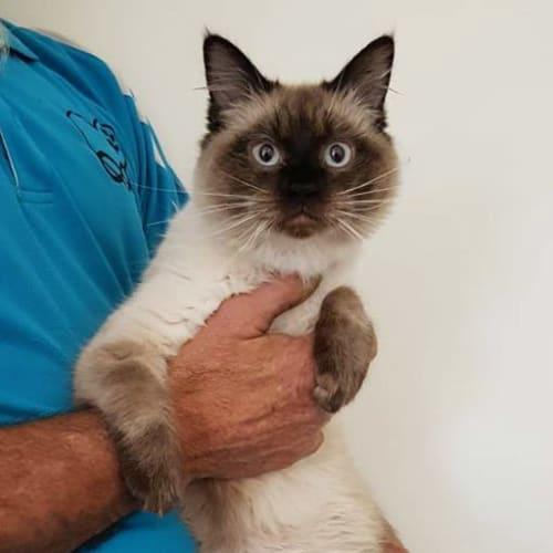 George - Ragdoll Cat