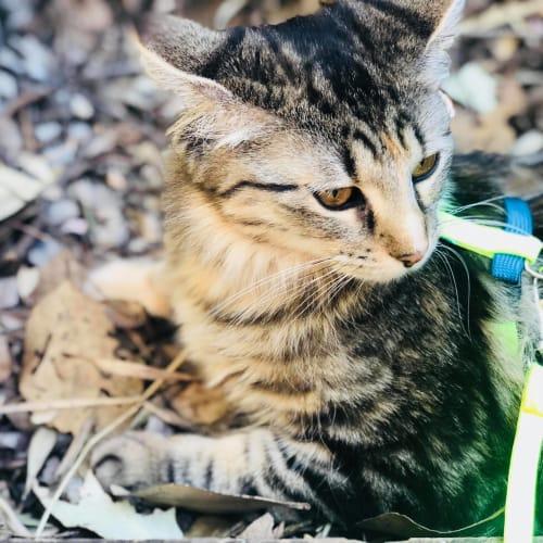 Lilly - Domestic Medium Hair Cat