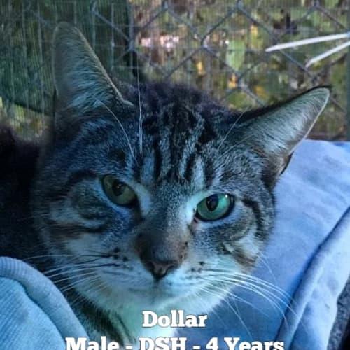 Dollar - Domestic Short Hair Cat