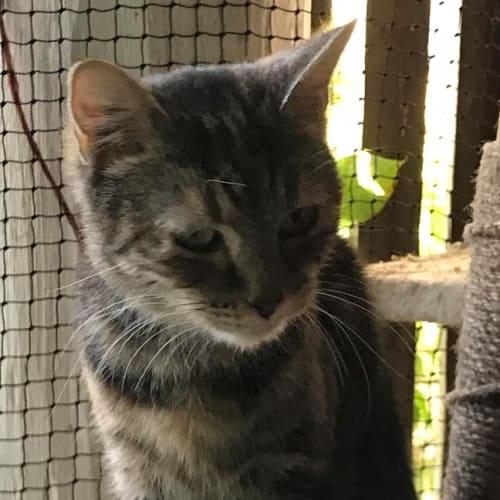 Dulcey - Domestic Short Hair Cat