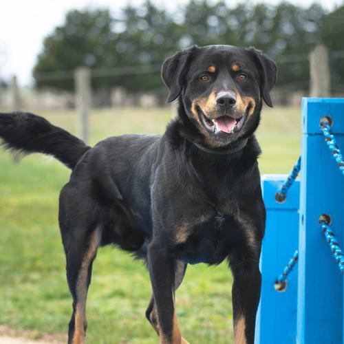 Diesel (88420) - German Shepherd x Rottweiler Dog