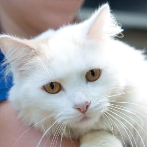 Snowman - Ragdoll Cat