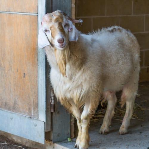Dumbledore -  Goat