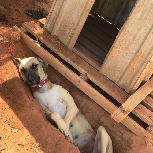 Phoebe - Greyhound Dog