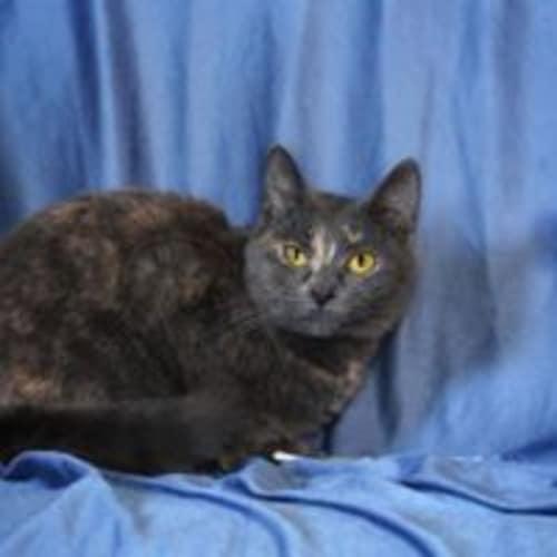 Michaela - Domestic Short Hair Cat