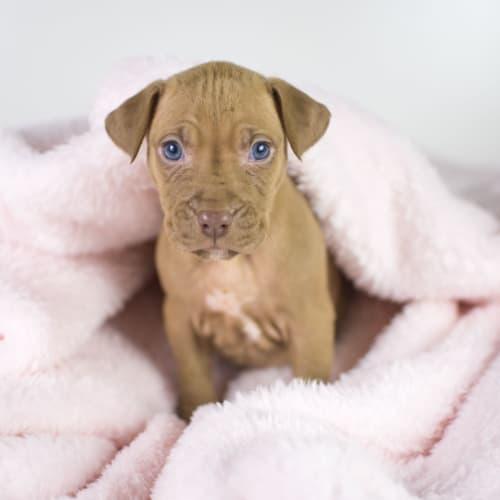 Ellie Ruby - Staffy Dog