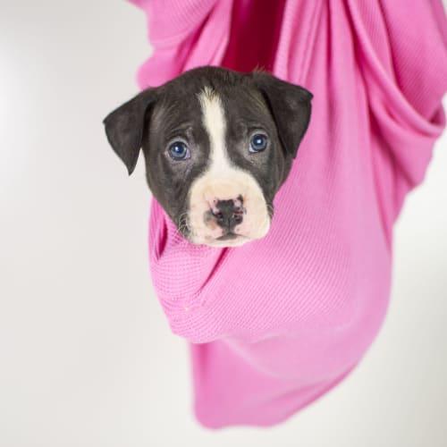 Biggs Jasper - Staffy Dog
