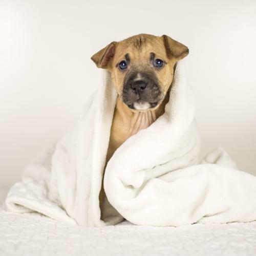 Inca Rose - Staffy Dog