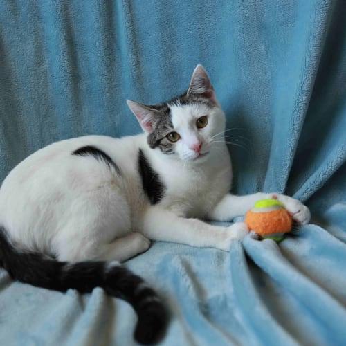 Davie (Located in Cheltenham) - Domestic Short Hair Cat