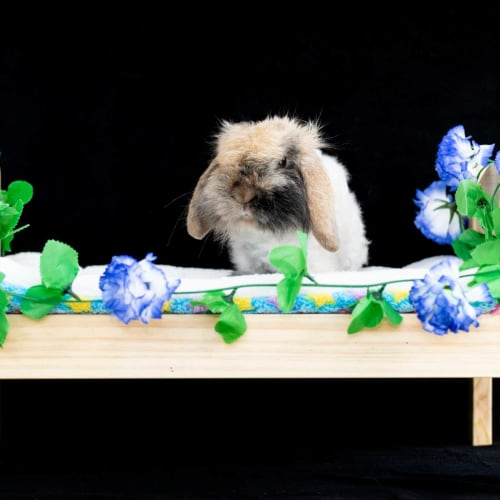 Marley - Cashmere x Dwarf lop Rabbit