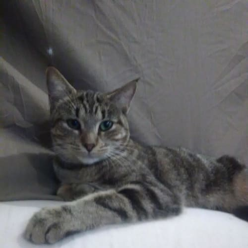 Abby Tabby (HC1017) - Domestic Short Hair Cat