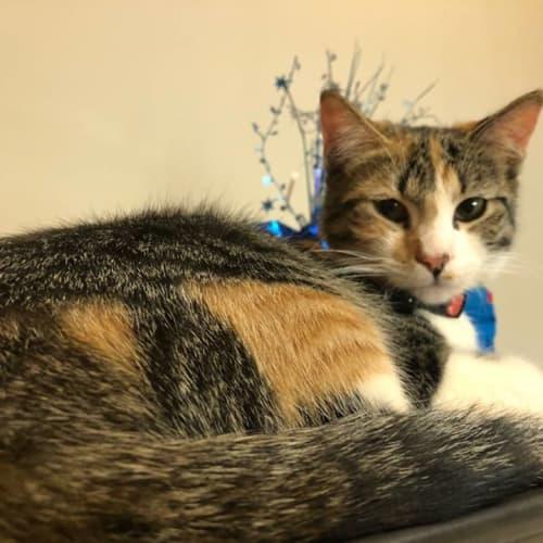 Dawn HC942 - Domestic Short Hair Cat