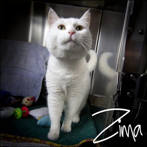 Zima - Domestic Short Hair Cat
