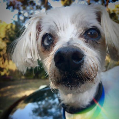 Jay Jay 👀  - Maltese x Poodle Dog