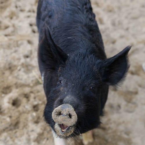 Nibbles -  Pig