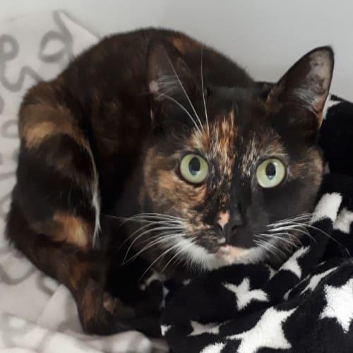 Katniss - Domestic Short Hair Cat