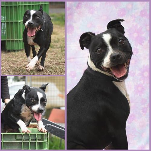 Ruby (88988) - Boston Terrier x Staffordshire Bull Terrier Dog
