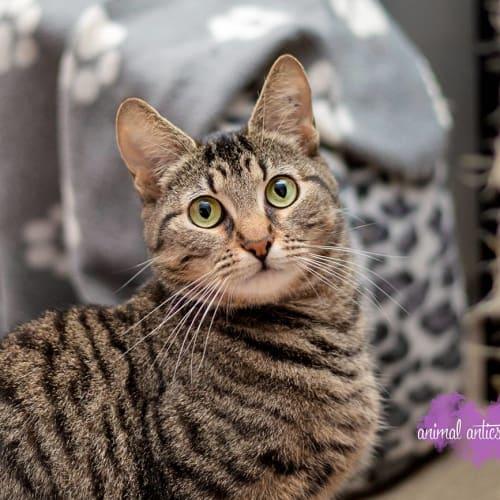 AC0817 - Darlah - Domestic Short Hair Cat