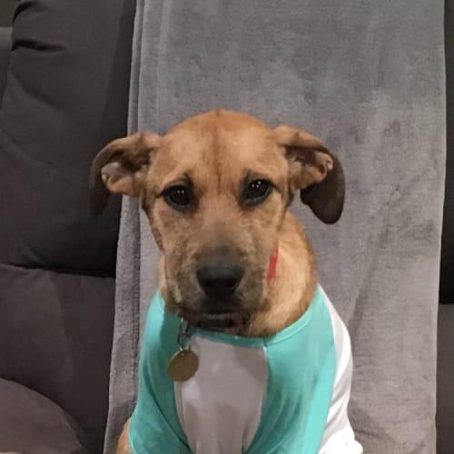 Cardi - Staghound Dog