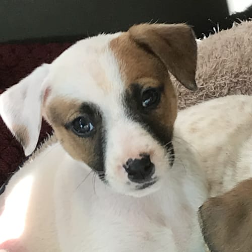 Lollypop - Mixed Breed Dog